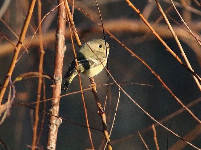 A Ruby-crowned Kinglet in a brief moment of motionlessness.