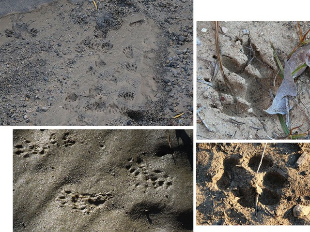 Tracks.  Clockwise from top-left: Racoon, Raccoon, Coyote, Fox Squirrel.