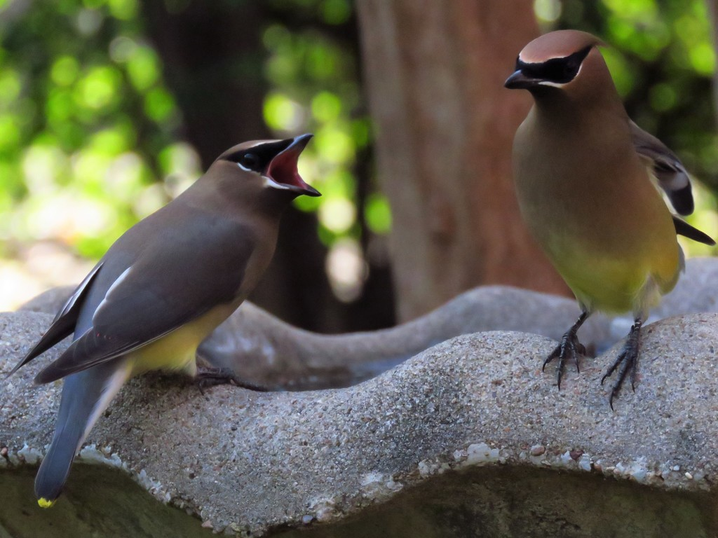 Winter Back Yard Birds - DFW Urban Wildlife