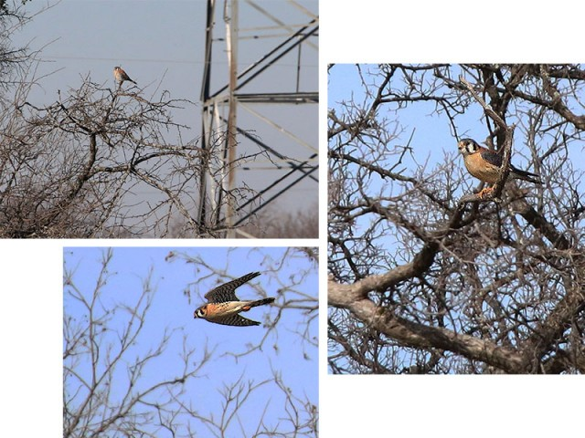 An American Kestrel hunting along a Utility Right of Way.