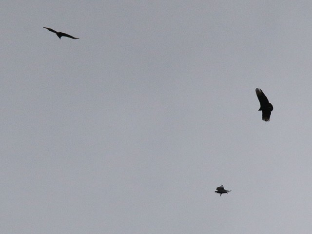 Black Vultures circling overhead.