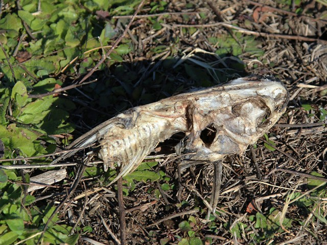 The remains of a catfish.  A possible victim of our friend the Osprey.