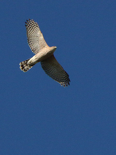 A Cooper's Hawk flying high overhead.