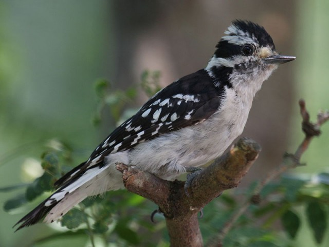 Downy Woodpecker - Female, from Wikimedia Commons