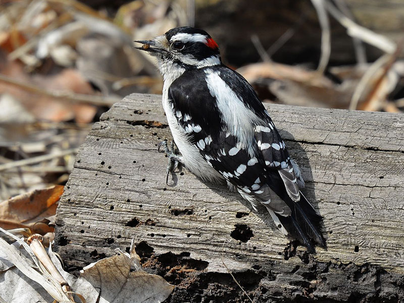 The Woodpeckers Of North Texas Dfw Urban Wildlife