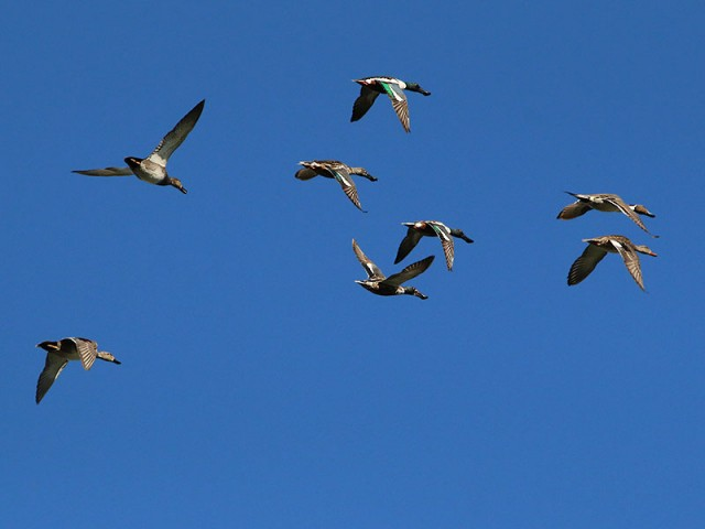 Right to left: A male and female Gadwall, two male and two female Northern Shovelers, and a male and female Northern Pintail all flying together.