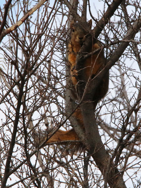 A cautious Fox Squirrel keeping an eye on us as we passed by.