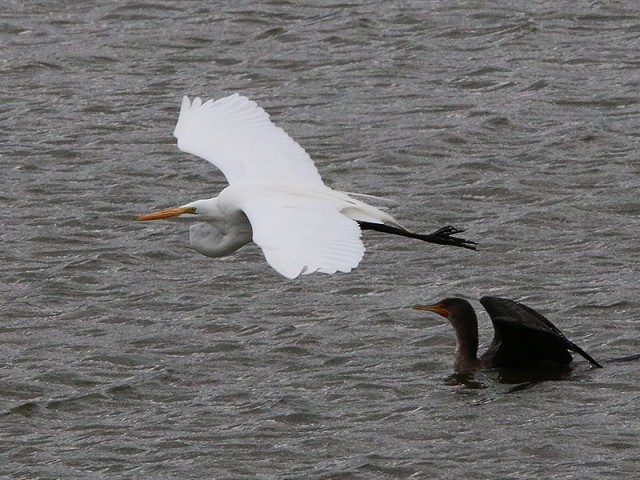 A Great Egret doing a cormorant flyby.