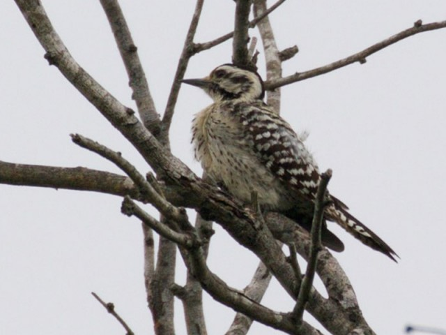 Ladder-backed Woodpecker - Female, from Wikimedia Commons