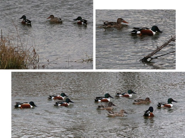 Northern Shovelers at McInnish Park.