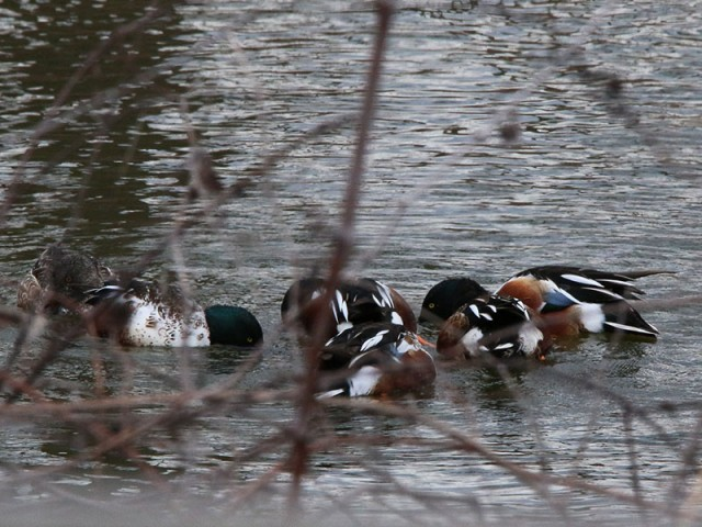 "Northern Shovelers engaged in their unique ""scrum huddle"" feeding behavior."