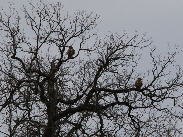 A pair of Red-tailed Hawk in a tree at the north end of the park.