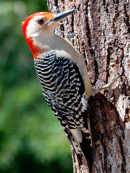 Red-bellied Woodpecker - Male, from Wikimedia Commons