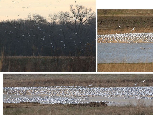 Early one morning I noticed a large number of Ring-billed Gulls stirred into flight near the woods.  When I stopped by later in the morning, I found hundreds of gulls congregating on a shallow lake.