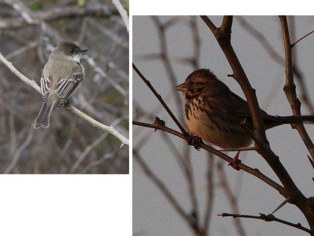 Eastern Phoebe left.  Song Sparrow right
