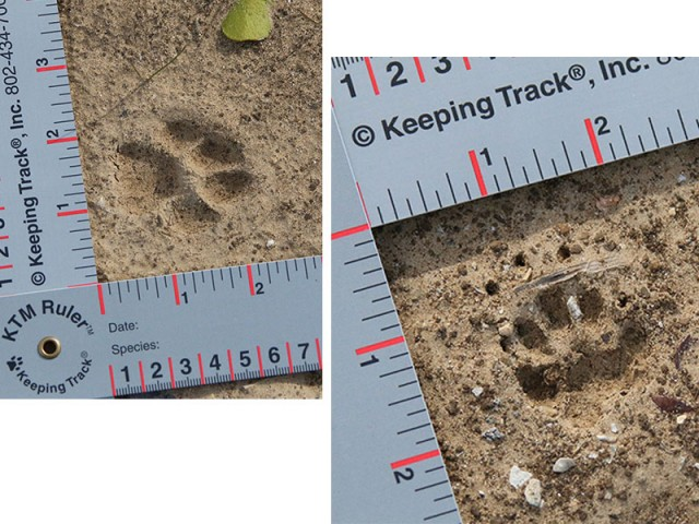Tracks:  Bobcat on left and Striped Skunk on the right.