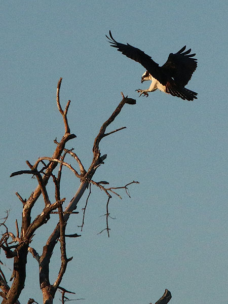 The Osprey, also known as the Fish Eagle.