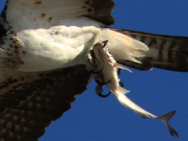 Notice how long the Osprey's talons are.