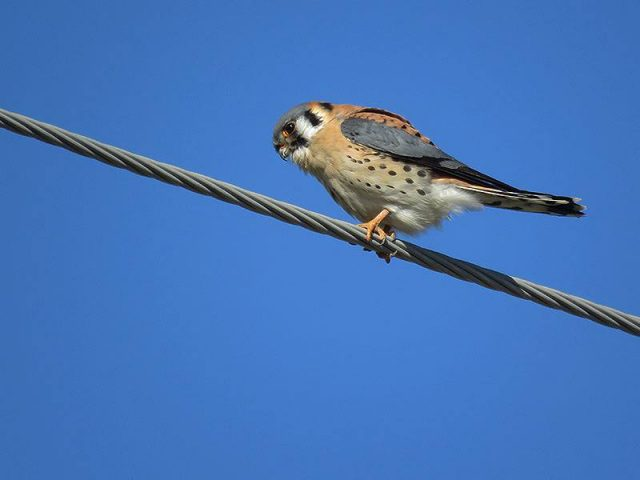 An American Kestrel hunting grasshoppers on an overgrown vacant lot.