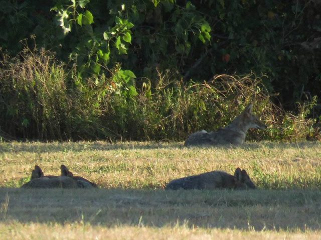 A family group of Coyotes lounging in the late afternoon sun.
