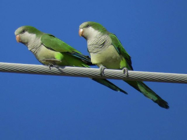 Monk Parakeets attracted to the acorns dropped by the trees surrounding our parking lot.