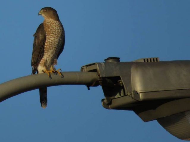 A Cooper's Hawk on the lookout for Mourning Doves.
