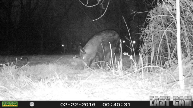 Feral Hog withe cottontail rabbits.