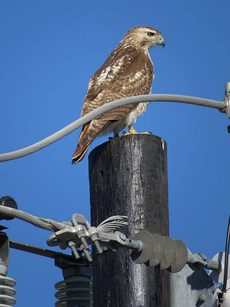 A Red-tailed Hawk searching for rabbits.