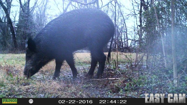Here he is!  A Feral Hog in the most unexpected of places.