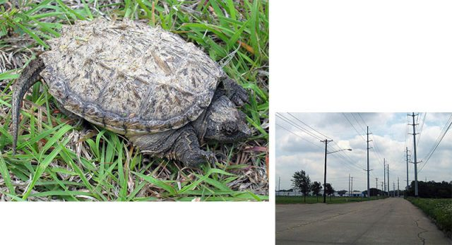 Juvenile Common Snapping Turtle was found trying to cross this road.