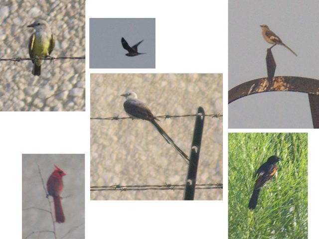 Clockwise from the top right:  Western Kingbird, Common Nighthawk, Northern Mockingbird, Orchard Oriole, Scissor-tailed Flycatcher, Northern cardinal.