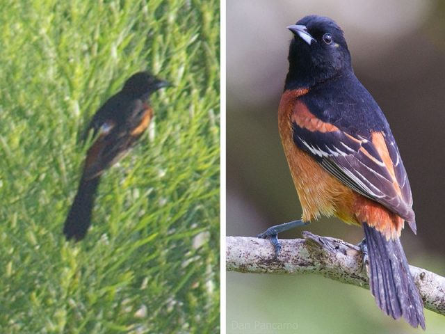 Orchard Oriole.  My picture on the left.  A picture from Wikipedia on the right for comparison.