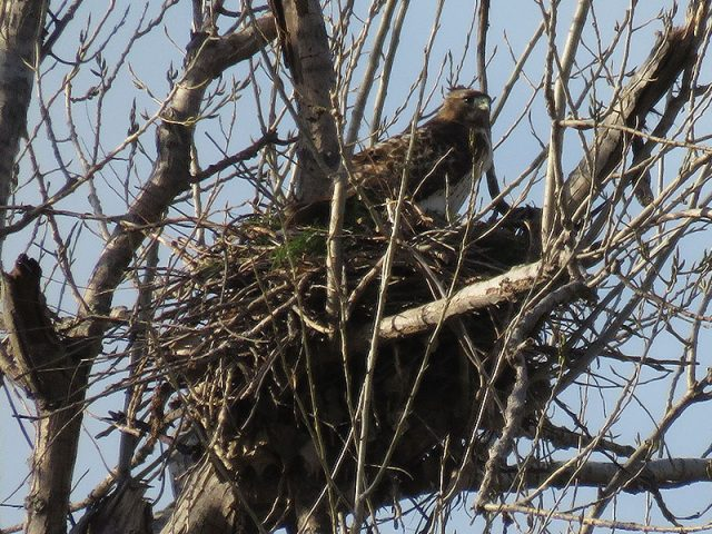 The female redtail refurbing the nest.