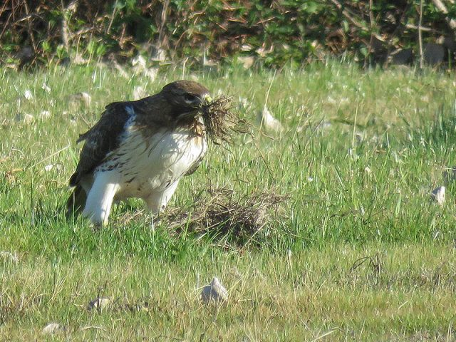 The male hawk on the ground collecting nesting materials.