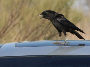 An American Crow on a car parked at the trail head.