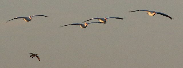 American White Pelican with a lone cormorant trailing behind.