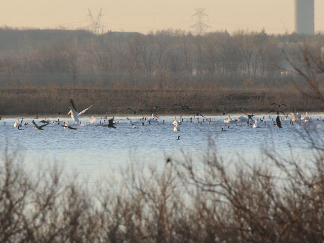 Cormorants and pelicans feeding together in the waters of Lewisville Lake.
