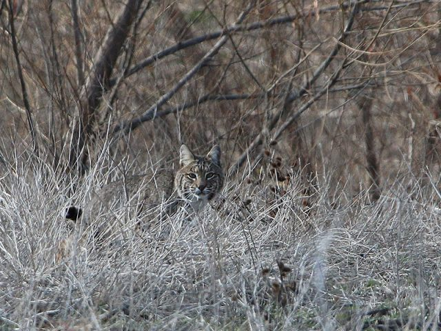 A Bobcat on patrol in the tall grass.