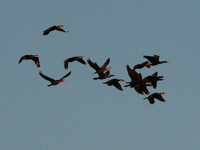 A formation of Double-crested Cormorants.