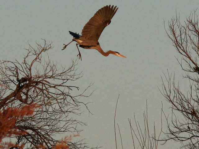 A Great Blue Heron leaps into the sky.
