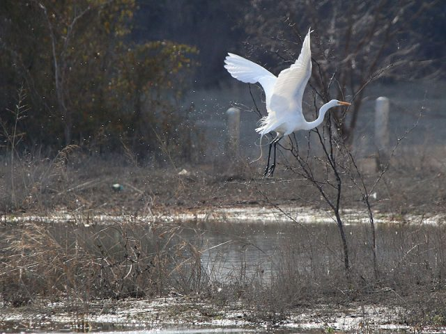 A Great Egret takes to the air!