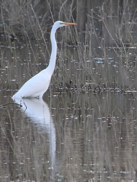 A lone Great Egret in a serene setting.