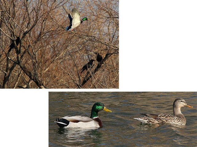 A lone Mallard flies by a murder of American Crows (top) .  A male and female Mallard swim together in a small pond (bottom).