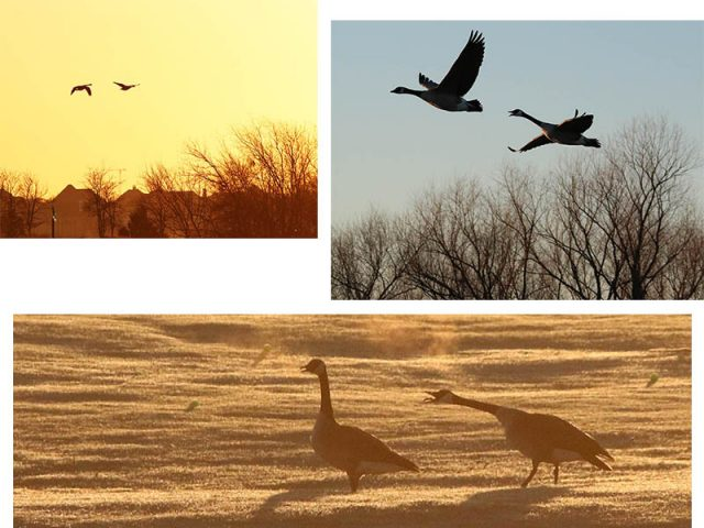 Canada Geese at dawn.