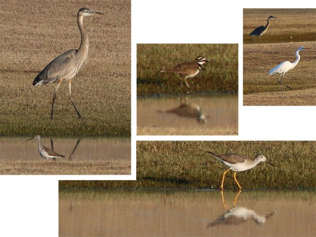 Clockwise from the top left... Great Blue Heron with a Greater Yellowlegs, a Killdeer, A Great Egret mirroring the behavior of the Great Blue Heron behind him, and a Greater Yellowlegs patrolling waterside.