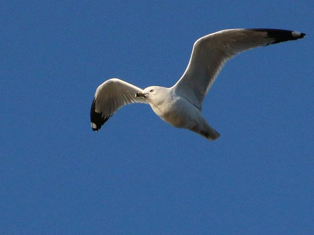 A ring-billed Gull in flight.