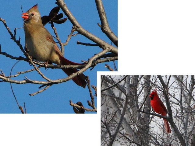 A slightly leucistic female Northern Cardinal with a bright red male nearby.
