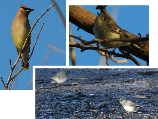 Clockwise from the top... Cedar Waxwing, Ruby-crowned Kinglet, and Dark-eyed Juncos.