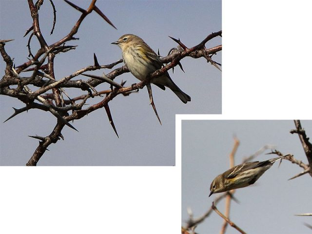 A Yellow-rumped Warbler diving from branch to branch.