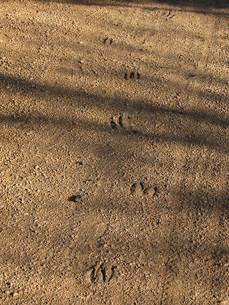 White-tailed Deer tracks on the trail near one of the adjacent golf courses.